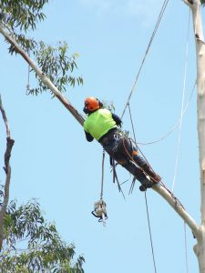 Tree Loppers pruning a tree branch using ropes